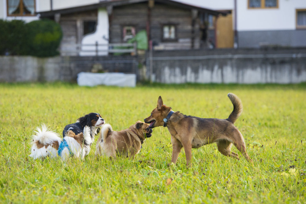 kikis dog care hundebetreuung fieberbrunn social walks00031