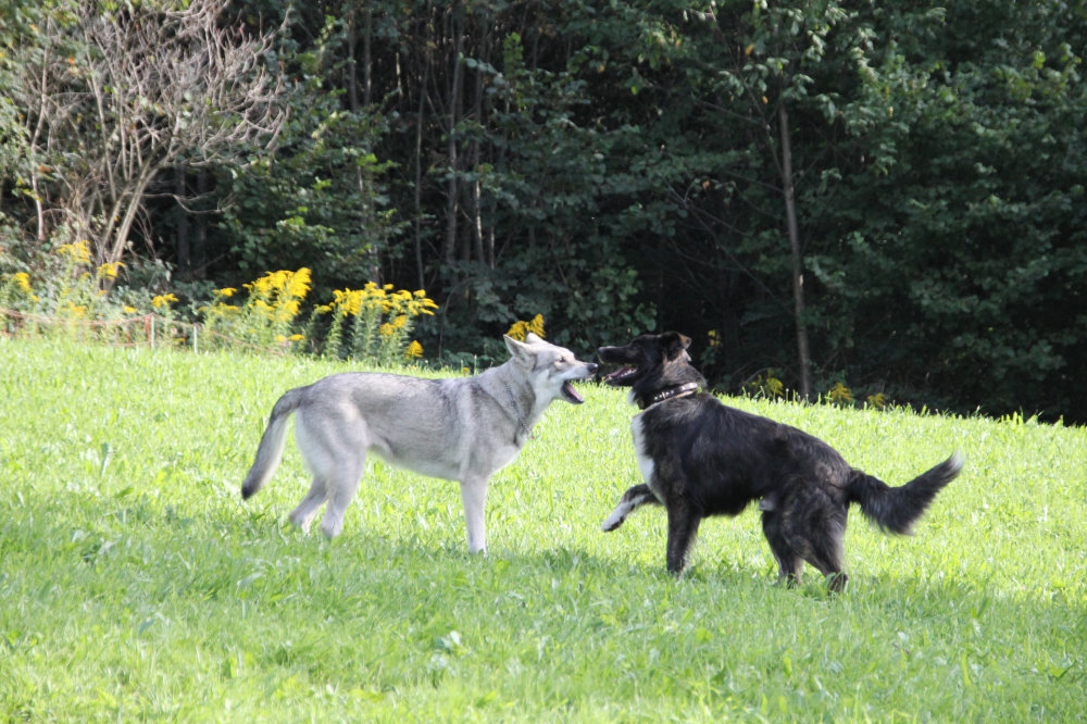 kikis dog care hundebetreuung fieberbrunn social walks00044
